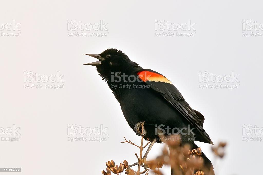 Red-winged Blackbird Singing stock photo
