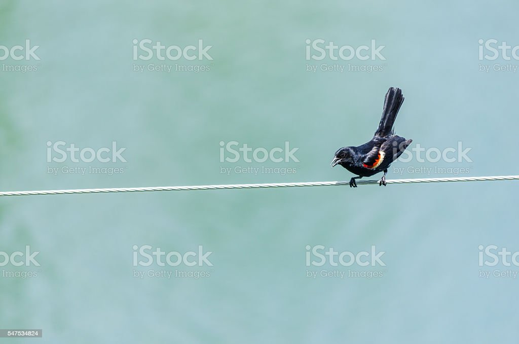 Red-winged Blackbird squawking on an electric wire in Quebec, Ca stock photo