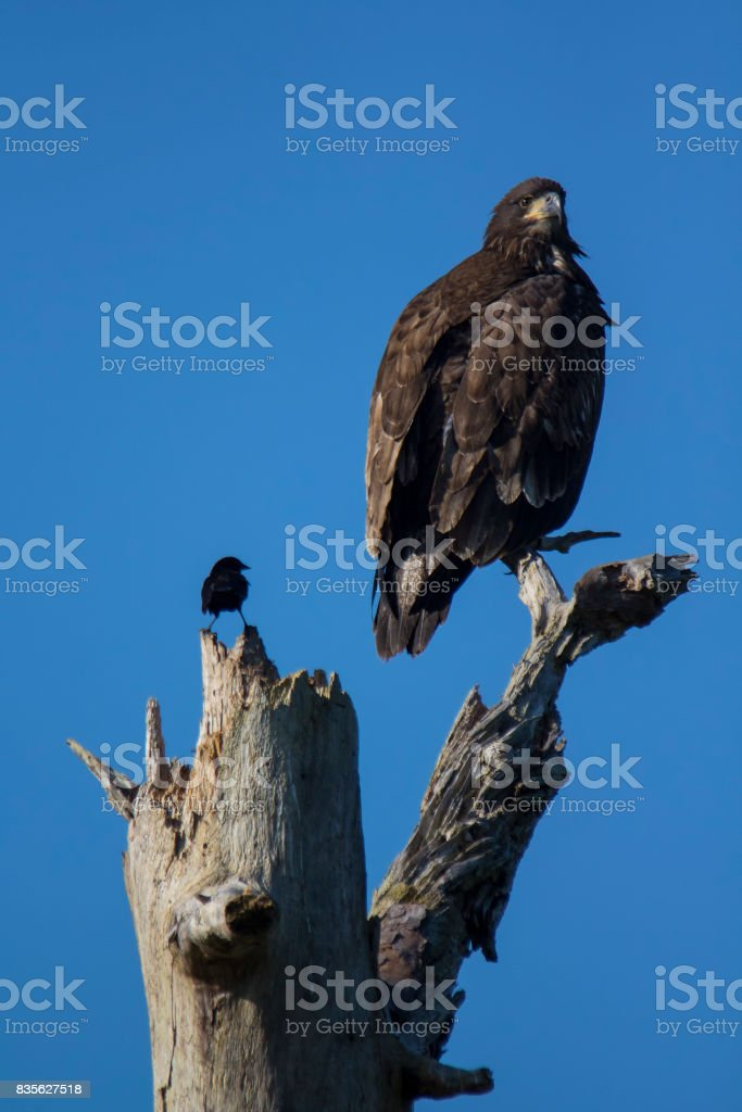 Red-winged blackbird with bald eagle stock photo