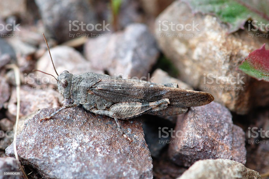 Red-winged Grasshopper (Oedipoda germanica) stock photo