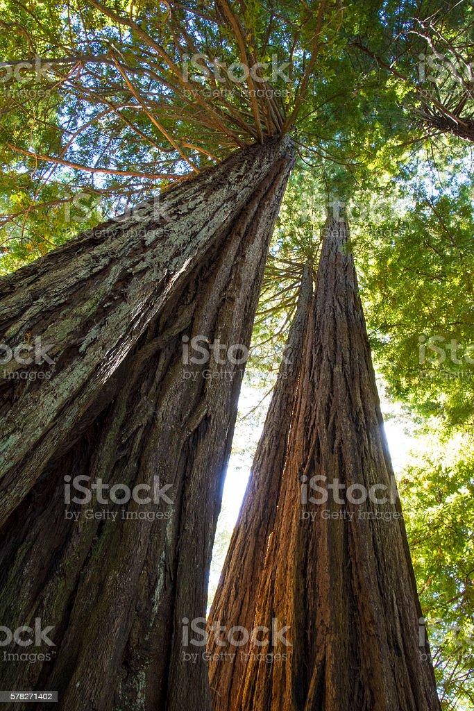 Redwood awe stock photo
