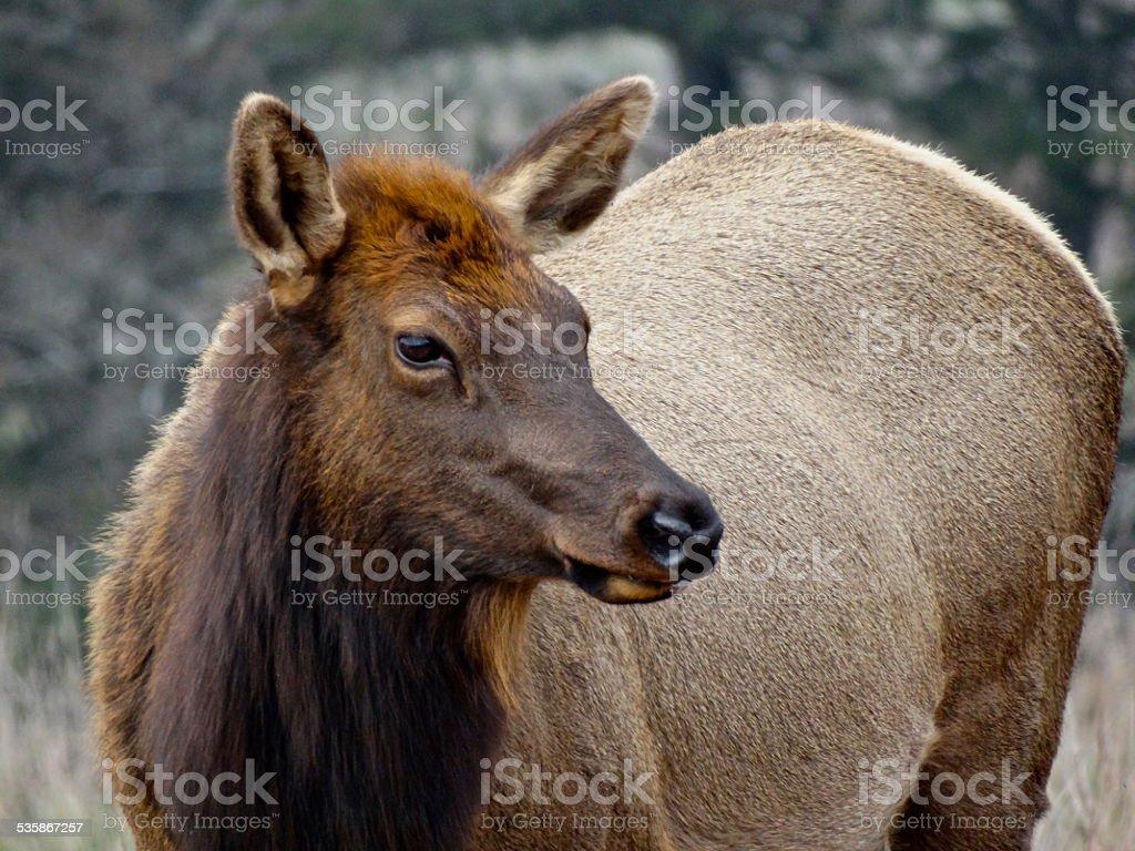 Redwood Elk Cow stock photo