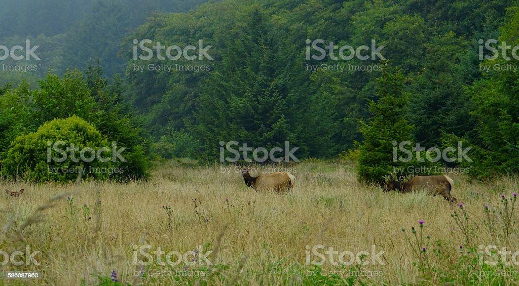Redwood Elk Cows stock photo