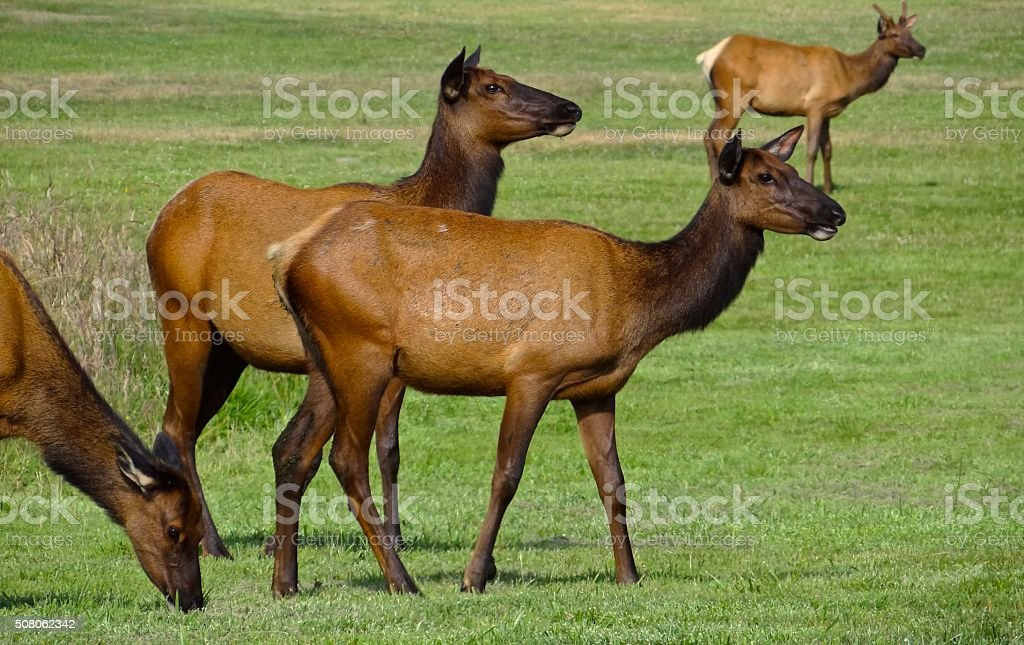 Redwood Elk stock photo