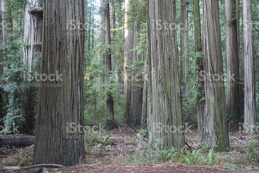 Redwood Forest at Humboldt Redwoods State Park stock photo