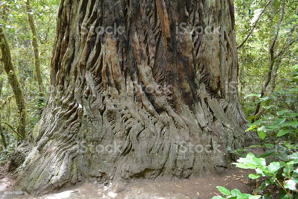 Redwood forest, CA, USA stock photo