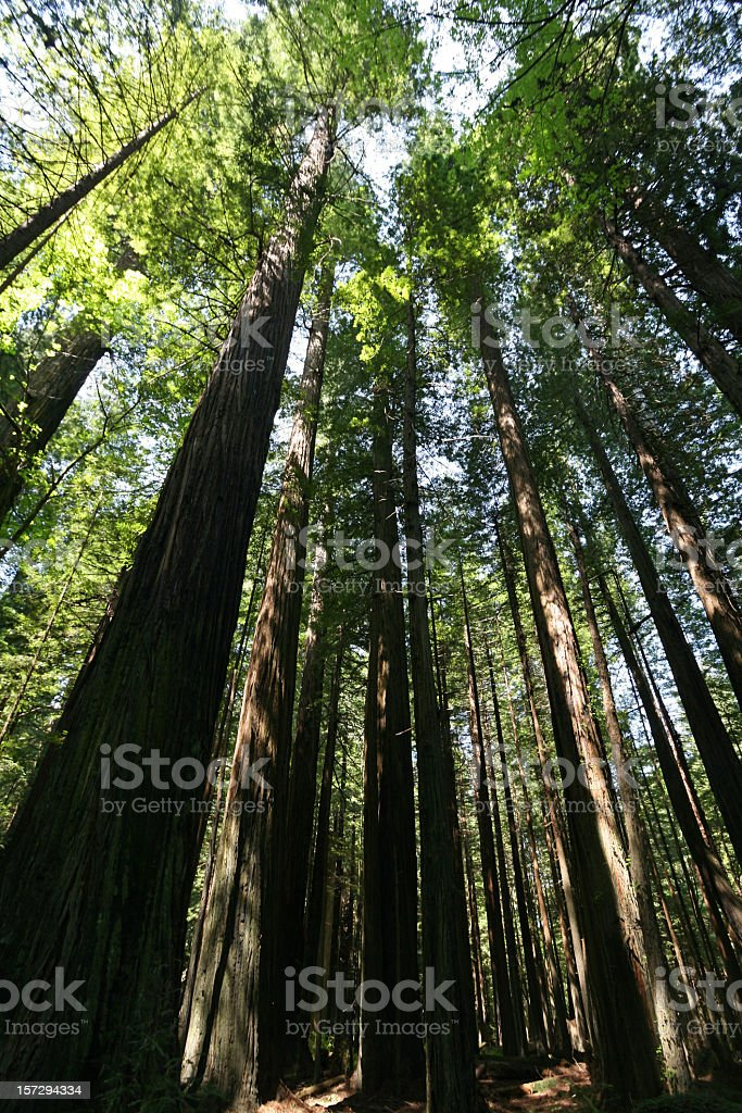 Redwood Forest California royalty-free stock photo