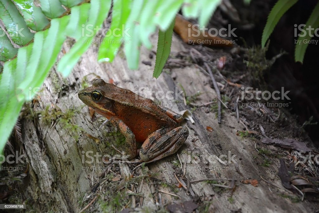 Redwood forest frog at the sequoia trunk stock photo