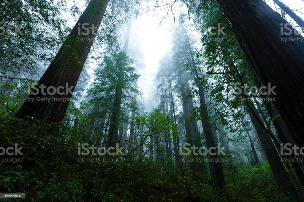Redwood Forest in Fog stock photo