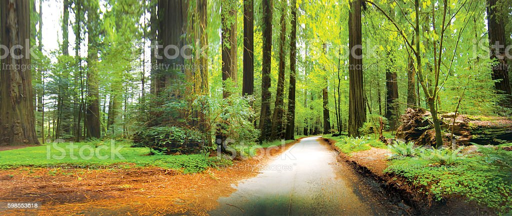 Redwood forest Northern CA stock photo