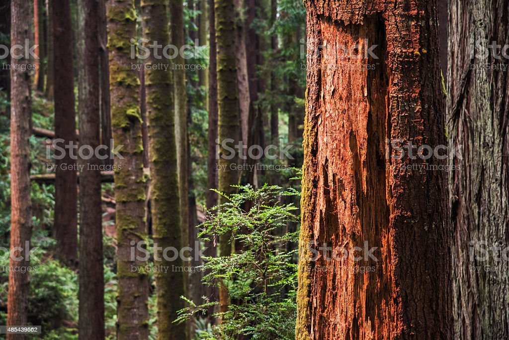 Redwood Forest of Northern California stock photo