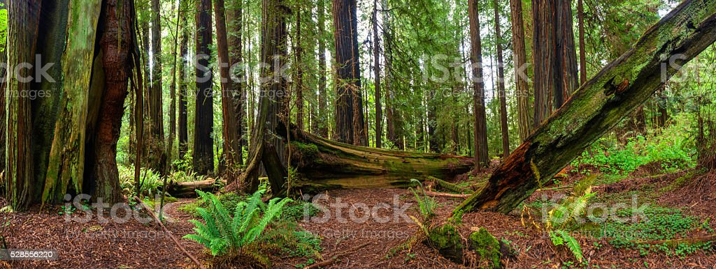 Redwood Forest Panorama stock photo