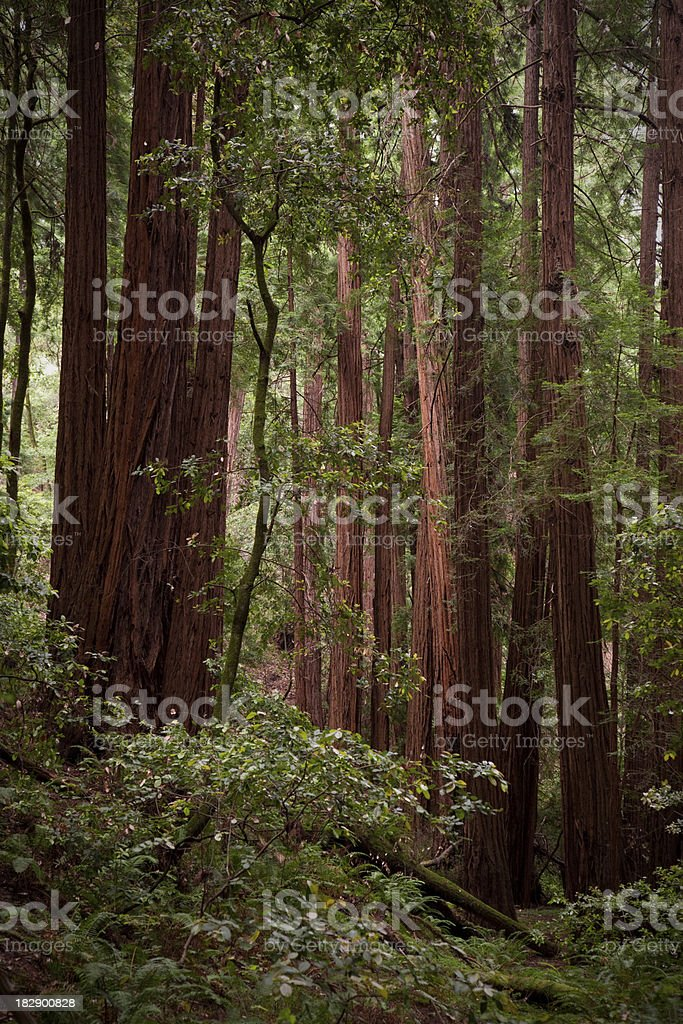 Redwood Forest royalty-free stock photo