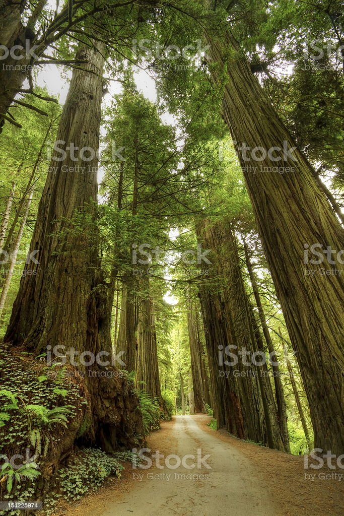 Redwood Forest Road stock photo