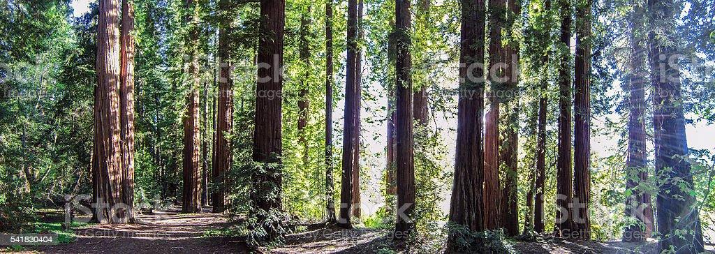 Redwood grove panorama stock photo