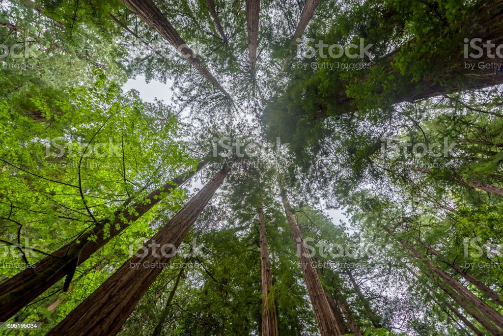 Redwood in Muir Woods National Monument stock photo