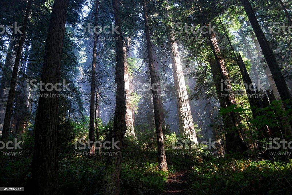 Redwood Light stock photo