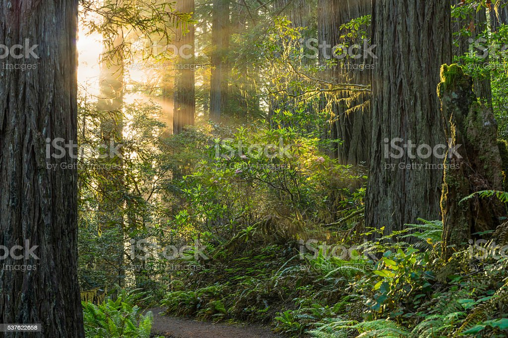 Redwood National Forest stock photo