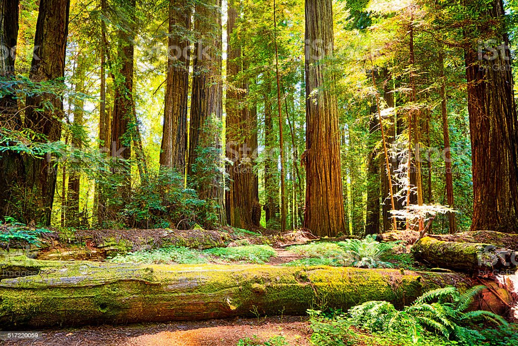 Redwood National Park stock photo