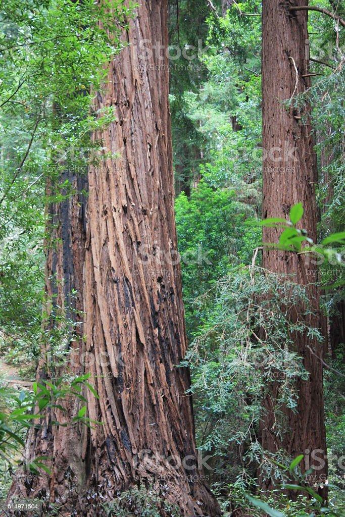 redwood stock photo