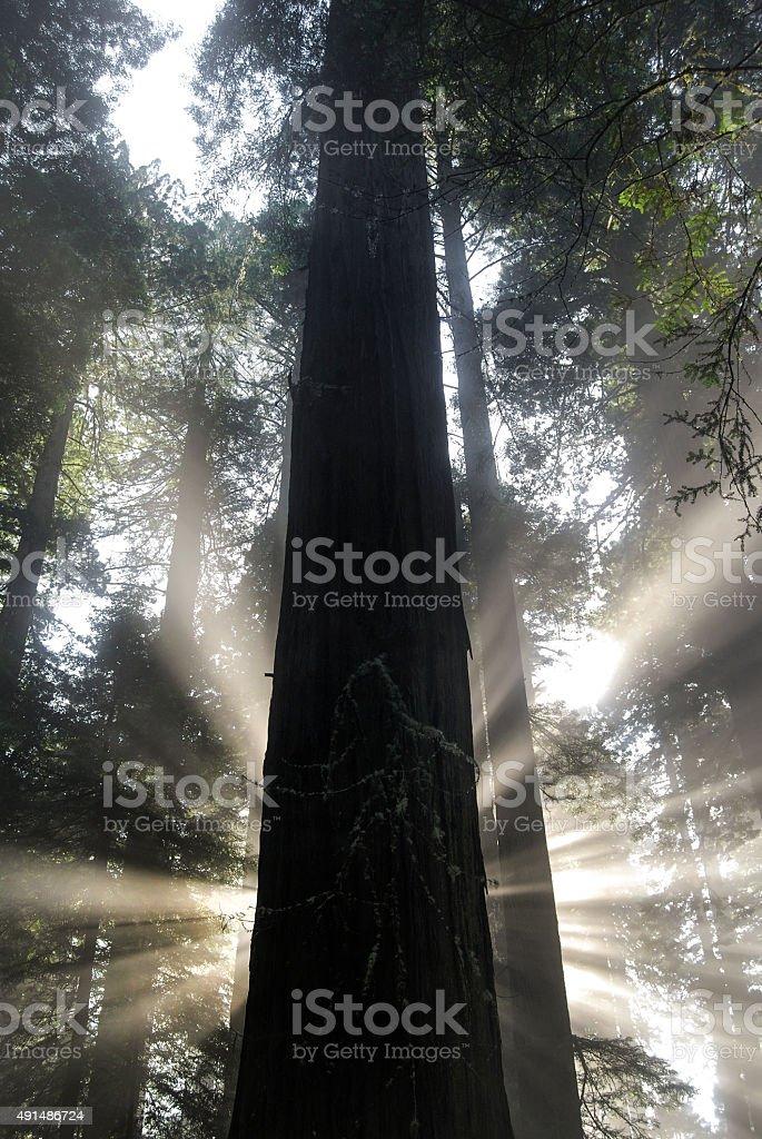 Redwood Radience stock photo