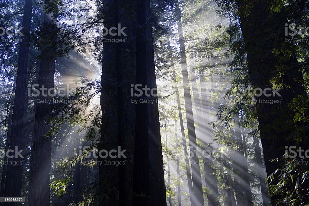 Redwood Rays stock photo