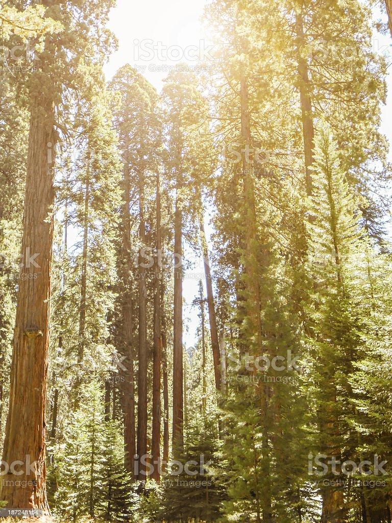 Redwood sequoia national park stock photo