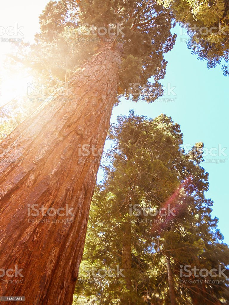 Redwood sequoia national park royalty-free stock photo