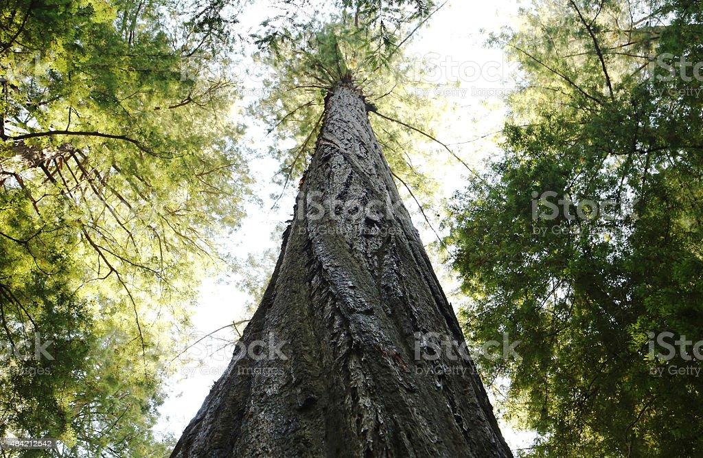 Redwood Sequoia Spiral Trunk stock photo