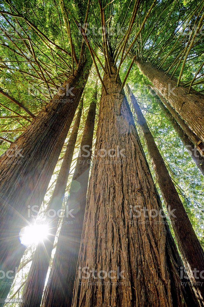 Redwood Sun stock photo