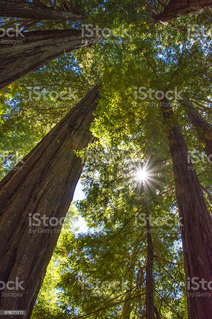 Redwood sun stock photo