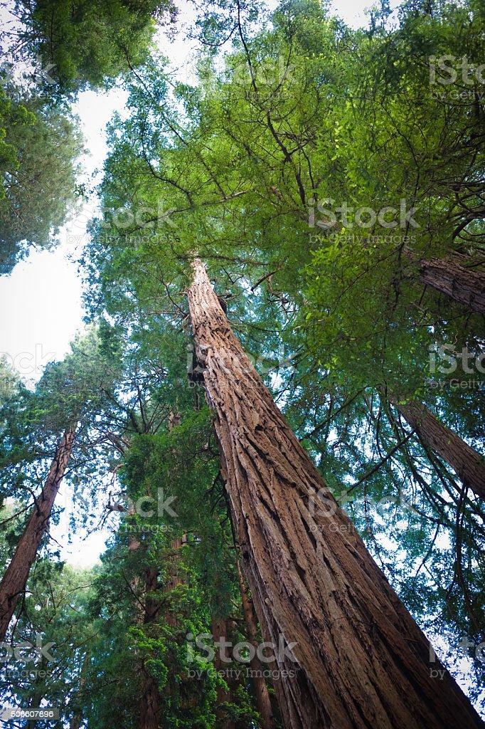 Redwood Tree stock photo