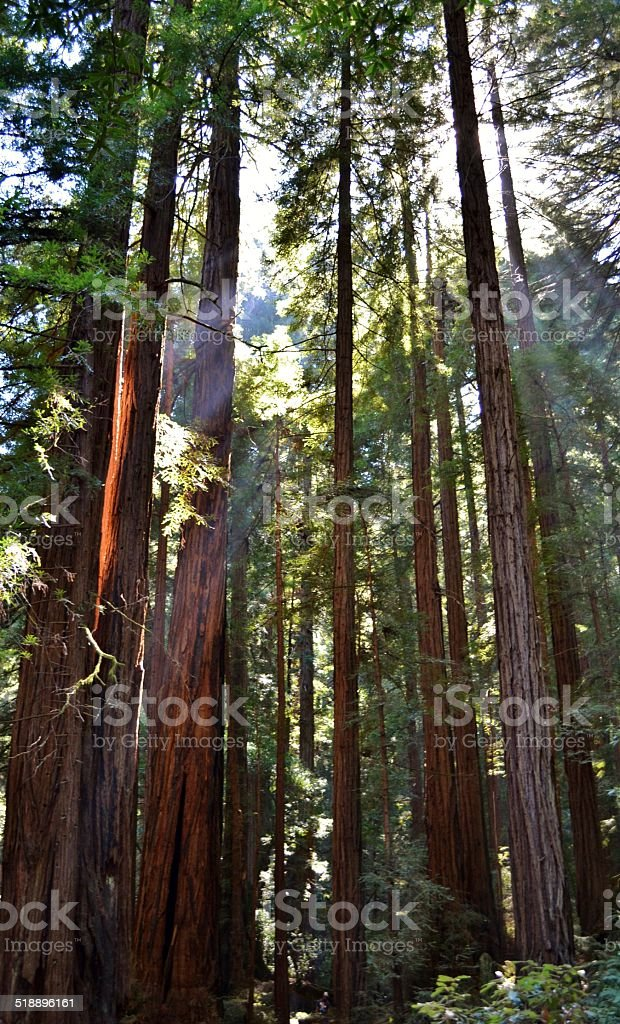 Redwood Trees at Muir Woods stock photo