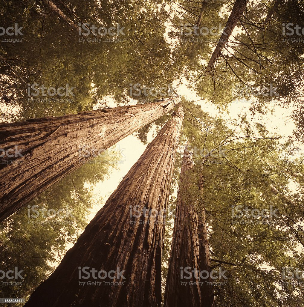 Redwood trees in Northern California stock photo