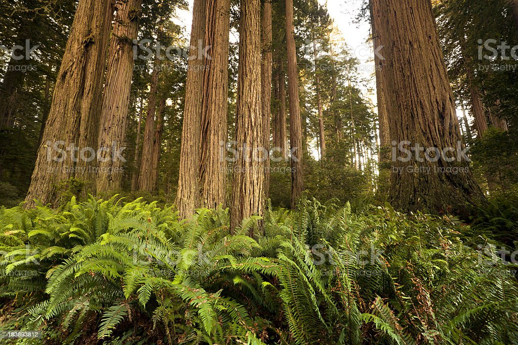 Redwood trees in the forest stock photo