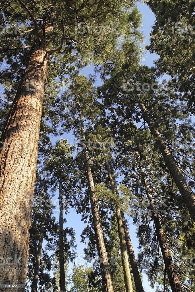 Redwood trees royalty-free stock photo