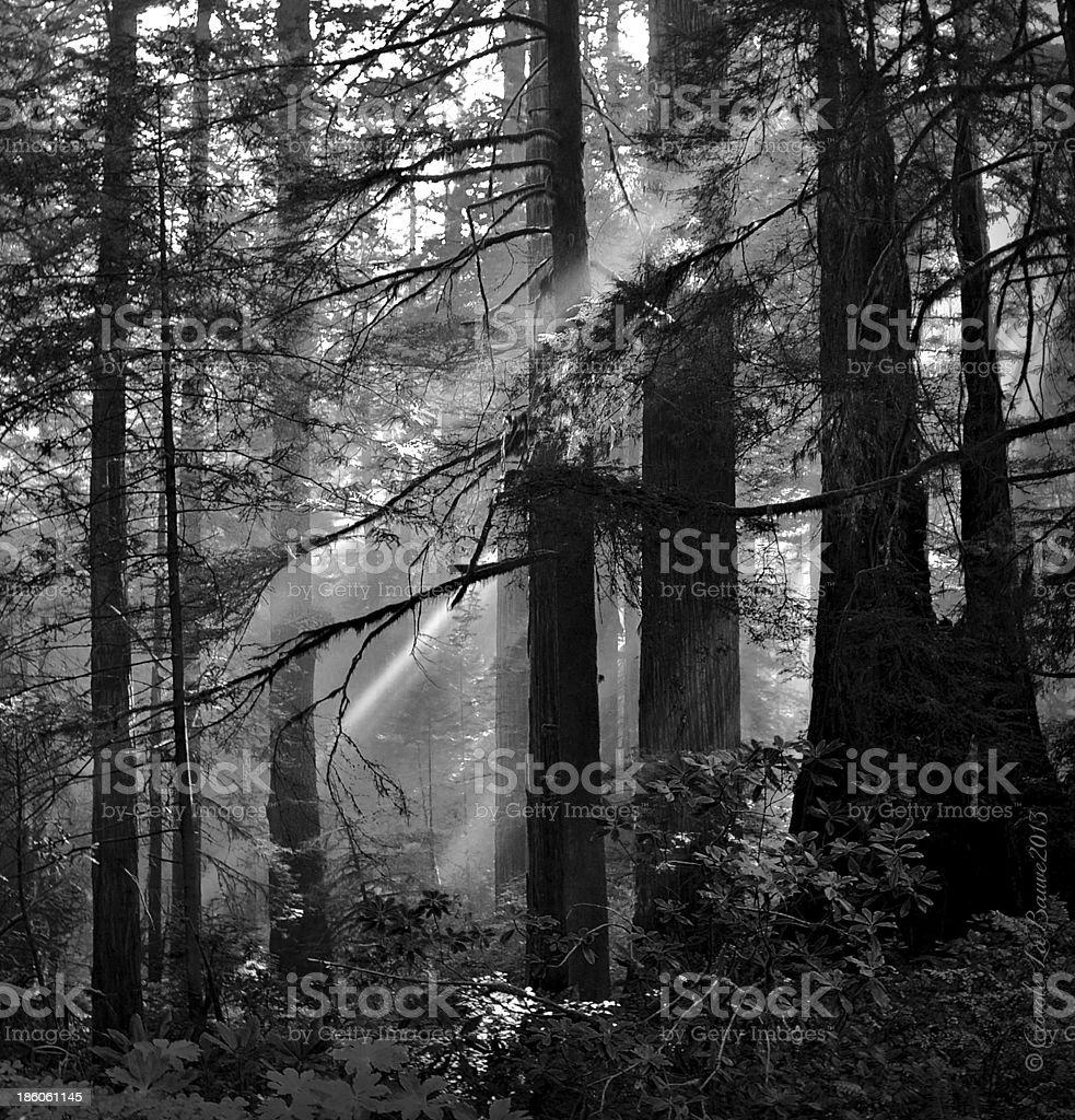 Redwood Trees stock photo