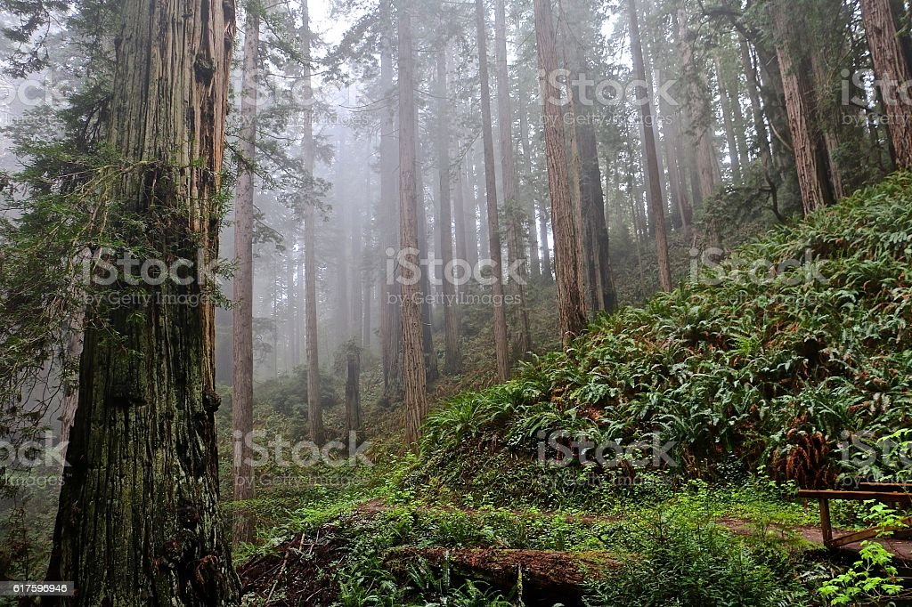 Redwood Trees stock photo