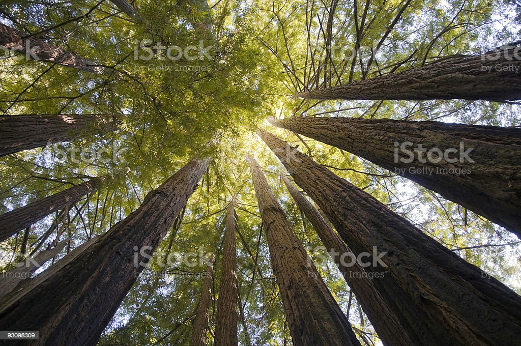 Redwood Trees Wide Angle stock photo