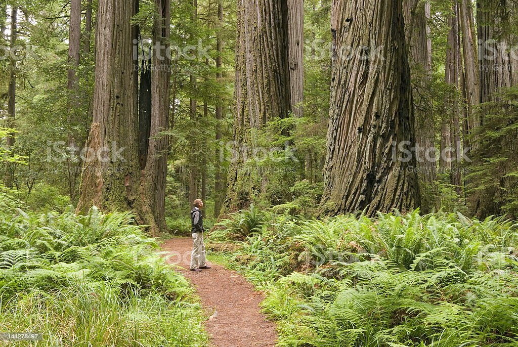 Redwood trees with hiker looking up. stock photo