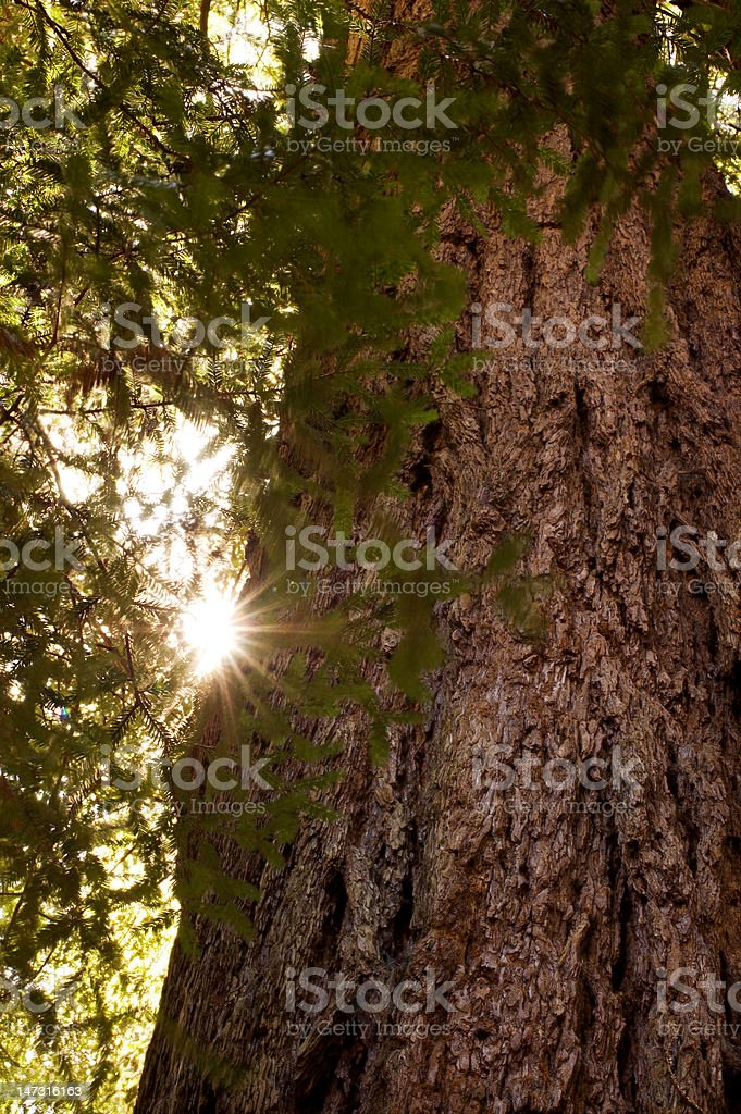 Redwood (Sequoia sempervirens) Trunk and Sun Flare royalty-free stock photo