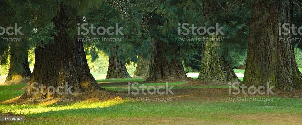 Redwood Trunks in Sunset Light stock photo