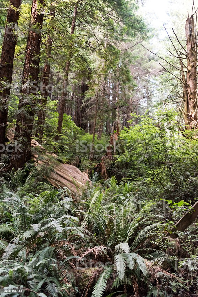 Redwoods Forest in Northern California stock photo