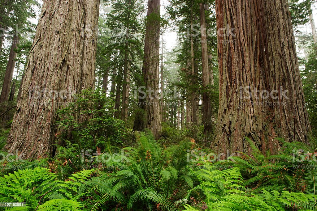 Redwoods in Fog royalty-free stock photo