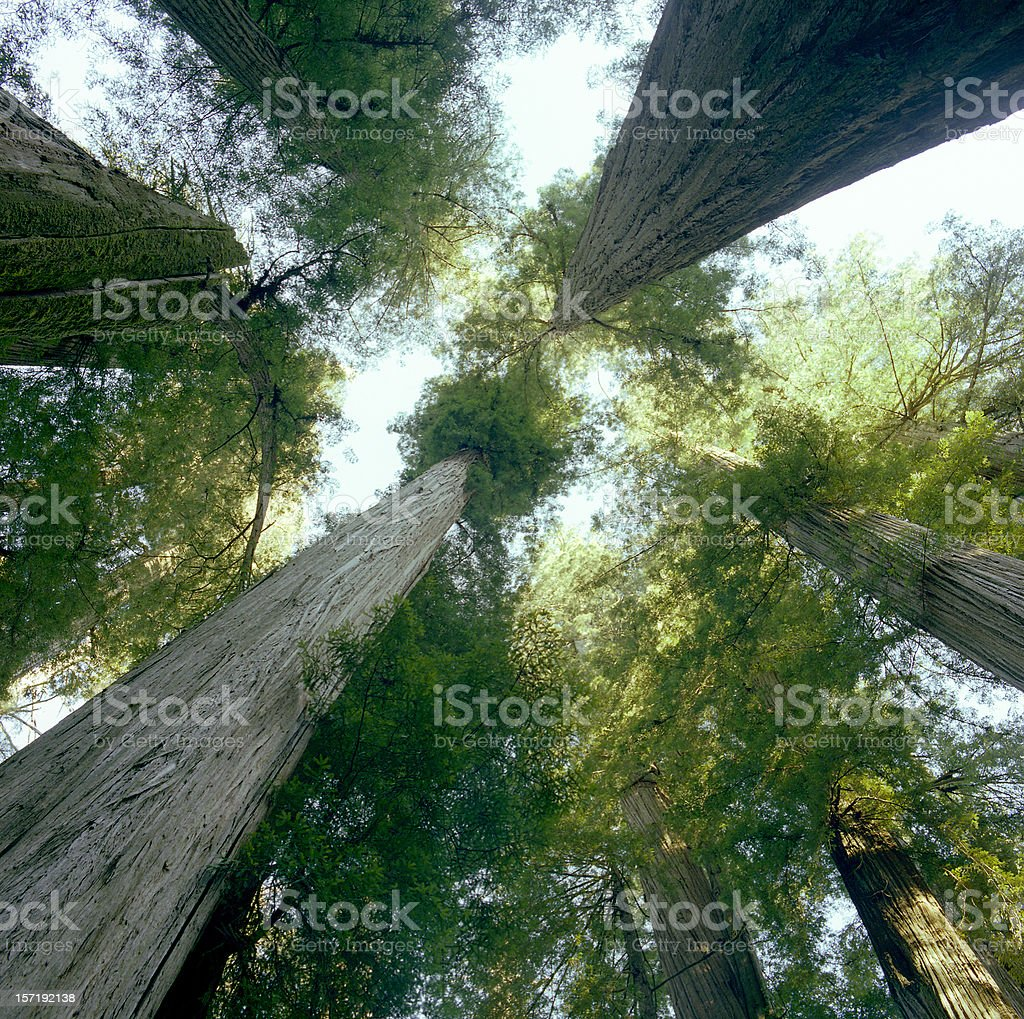 Redwoods Looking up royalty-free stock photo