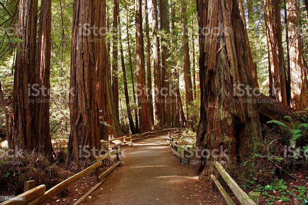 Redwoods, Muir Woods National Monument, California stock photo