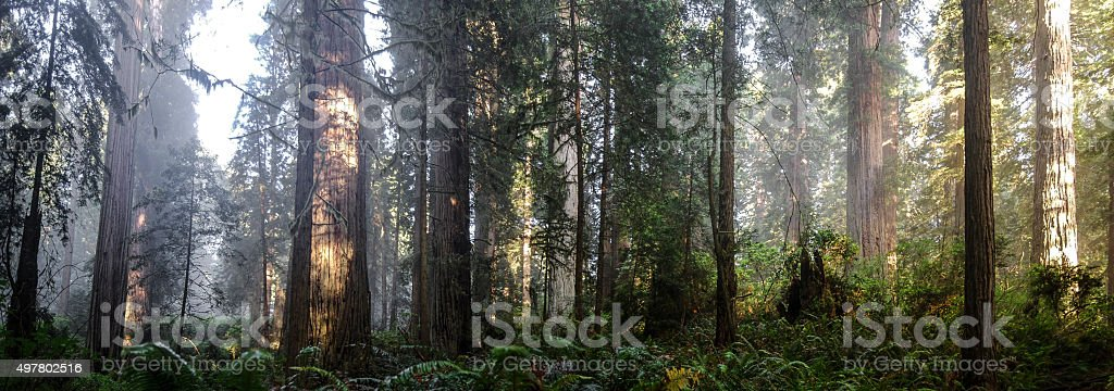 Redwoods Panorama stock photo