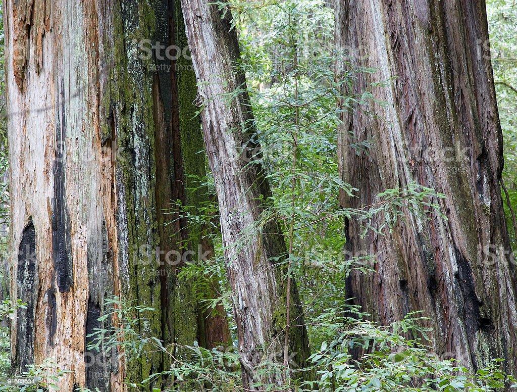 Redwoods stock photo