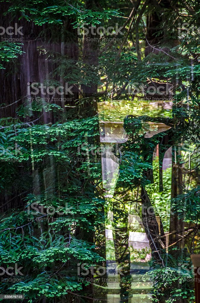 Redwoods Reflection stock photo