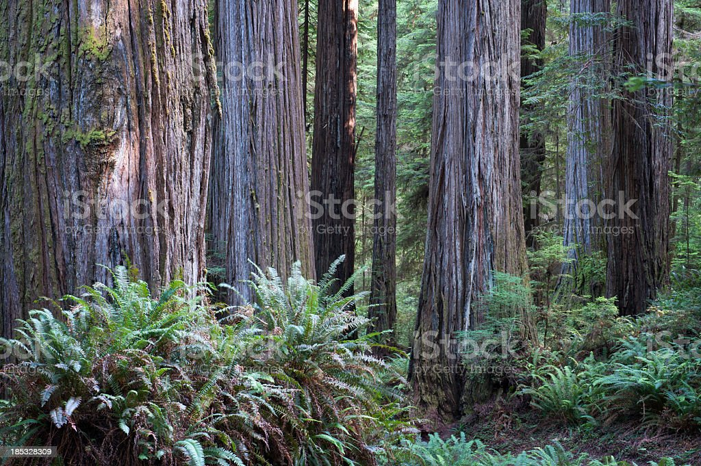 Redwoods With Large Ferns stock photo